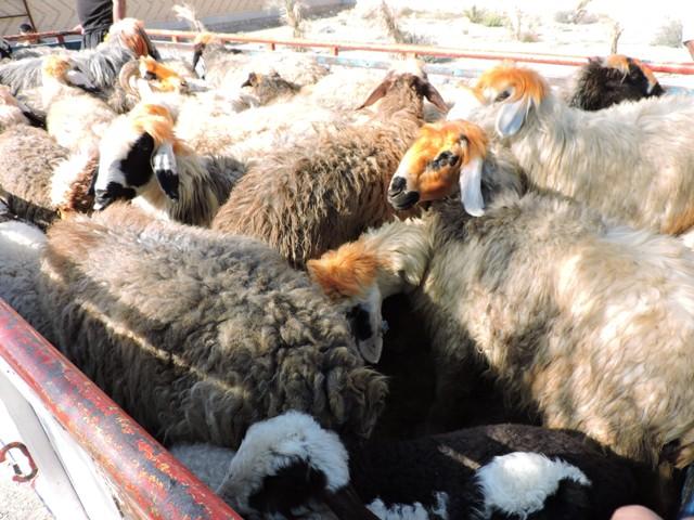 """کشف ۱۱۰ راس گوسفند قاچاق در """"راور"""""""